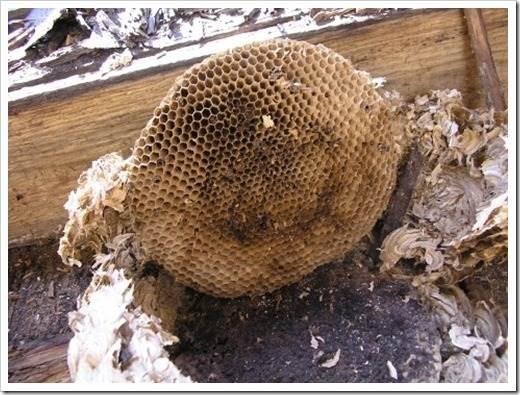 Уничтожение или перемещение осиного гнезда