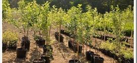 Как выбрать саженец яблони для посадки